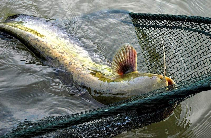 С 1 ноября вводится запрет на лов сома