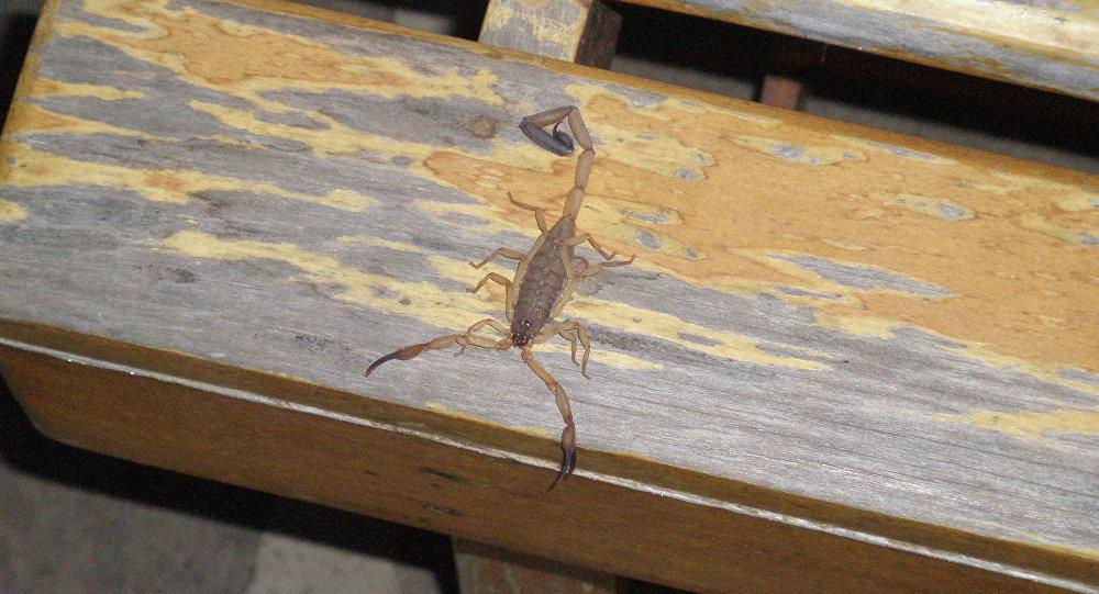 Ветстанция: покупателя в Барановичах действительно укусил скорпион