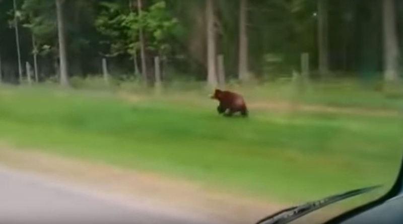 Бегущий бурый медведь замечен возле Минска