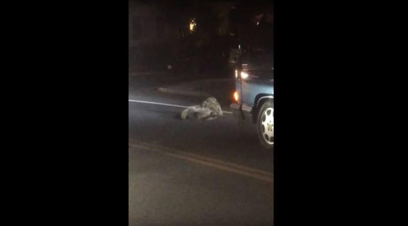 Видеофакт: драка енотов стала причиной пробки на оживленной улице