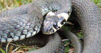 Ужи имедянки: умеете ли вы отличать змей?