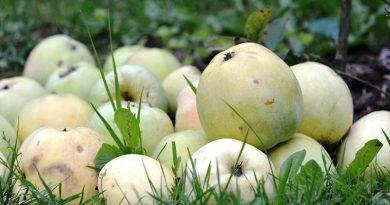 Народные приметы на Яблочный Спас. Традиции изапреты праздника